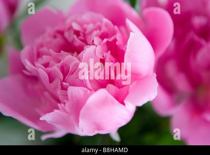 Pivoine rose Nom latin: Paeonia Photo Stock