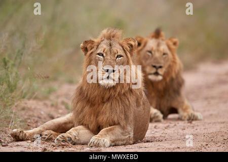 Deux male lion (Panthera leo), Kruger National Park, Afrique du Sud, l'Afrique Photo Stock