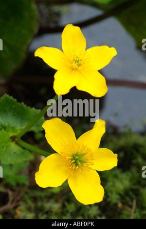 Caltha Palustris Populage des marais d'eau douce jaune fleur plante commune Kingcup les marais boisés humides Photo Stock