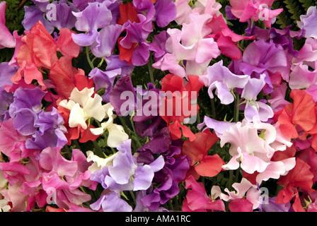 Bouquet de lilas mauve rose blanc masse pois mixte Lathyrus odoratus annuelle Photo Stock