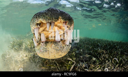 Saltwater crocodile américain, Xcalak, Quintana Roo, Mexique Photo Stock