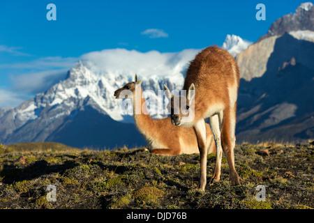 Deux guanacos (Lama guanicoe) sur la colline avec les montagnes de Torres del Paine en arrière-plan.Patagonie.Chili Photo Stock