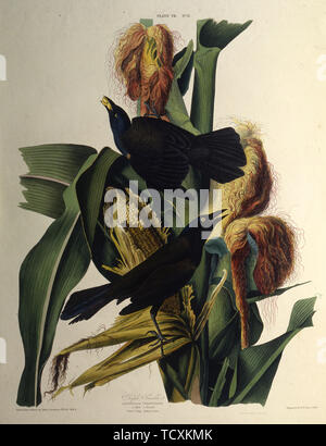 """Le Quiscale bronzé. À partir de """"Les Oiseaux d'Amérique"""", 1827-1838. Collection privée. Photo Stock"""