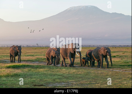 Petit groupe d'éléphant africain (Loxodonta africana) avec le Kilimandjaro en arrière-plan.Le Parc national Amboseli au Kenya. Photo Stock