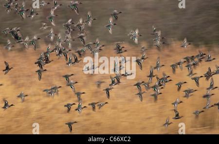 TEAL Anas crecca un troupeau de teal en vol (floue pour illustrer le mouvement) Yorkshire, UK Photo Stock