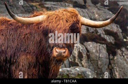 West Highland cattle, Harris, îles Hébrides, Ecosse, Royaume-Uni Photo Stock