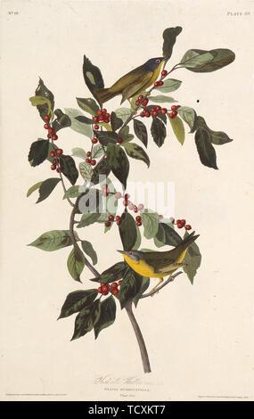 """La paruline. À partir de """"Les Oiseaux d'Amérique"""", 1827-1838. Collection privée. Photo Stock"""