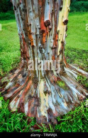 Eucalyptus peint. Keahua Arboretum. Kauai, Hawaii Photo Stock