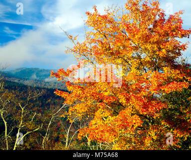 Maple e il Monte Mirchell, Mount Mitchell State Park, North Carolina Blue Ridge Parkway, più alto punto E. Immagini Stock