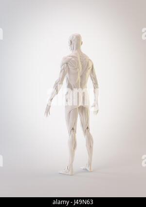 Muscolo dettagliata anatomia umana 3D illustrazione Immagini Stock