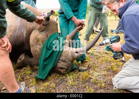 Rinoceronte nero (Diceros simum) essendo preparato per un trasmettitore radio.Ithala game reserve.Sud Africa Immagini Stock