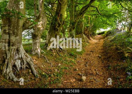 Regno Unito, Cumbria, York, Marthwaite, faggi fodera antico sentiero accanto Ingmire Hall Immagini Stock
