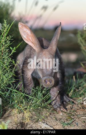 Giovani Aardvark(Orycteropus afer).Namibia Immagini Stock