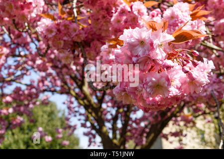 Rosa Fiori di Ciliegio albero in primavera. Immagini Stock