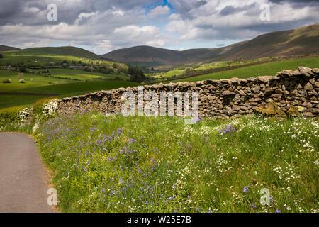 Regno Unito, Cumbria, York, Howgill Lane, fiori selvatici che crescono su orlo accanto a stretto single track road, verso cadde la testa e Tebay cadde Immagini Stock