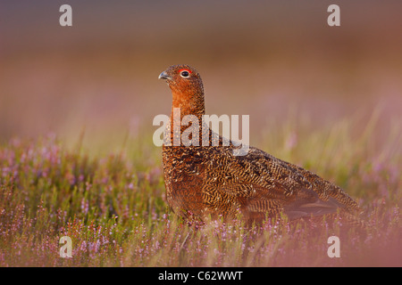 RED GROUSE Lagopus lagopus scoticus un adulto maschio tra la fioritura heather Yorkshire Dales National Park, il Immagini Stock