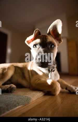 Cucciolo seduto su un tappeto Immagini Stock