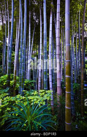 Boschetto di bambù, Hase-dera tempio (noto anche come Hase Kannon-ji) a Kamakura, Giappone Immagini Stock