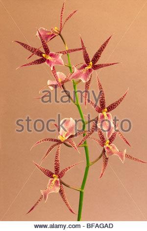 Orchid, Odontoglossum cordatum, collezione privata Immagini Stock