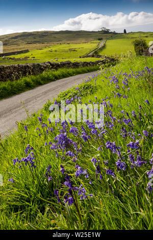 Regno Unito, Cumbria, York, wild bluebell fiori accanto al crescente stretta via unica strada per Firbank cadde, Immagini Stock
