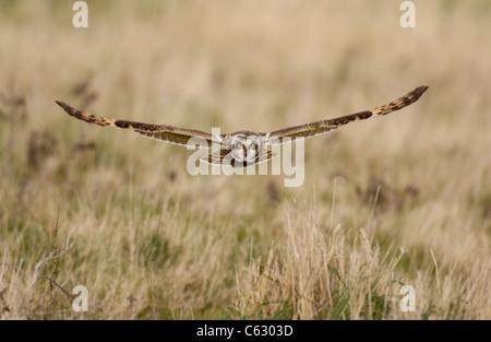 Corto-EARED OWL asio flammeus un adulto in volo la caccia su terreni incolti Galles del Nord, Regno Unito Immagini Stock