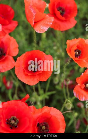 Il papavero di campo dei fiori Immagini Stock