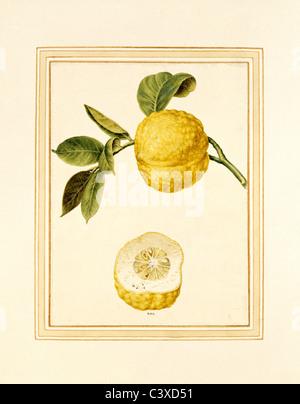 Limone sul gambo. L'Italia, XVIII secolo Immagini Stock