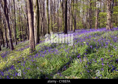 Portglenone Forest Park nella contea di Antrim, Irlanda del Nord. Immagini Stock