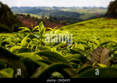 Un close-up di foglia di tè - venduto come Fairtrade tea - in una piantagione di tè in Malawi, Africa Immagini Stock