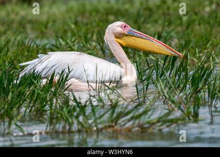Great White pelican (Pelecanus onocrotalus), il lago Naivasha, il Parco Nazionale del Kenya Immagini Stock
