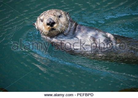 Una lontra nuota off il Inian Isole. Immagini Stock