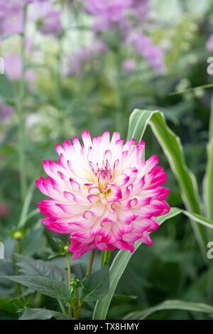 """Dahlia 'rabarbaro e crema"""" su un fiore visualizza ad RHS Chatsworth flower show 2019. Chatsworth, Derbyshire, Regno Unito. Immagini Stock"""