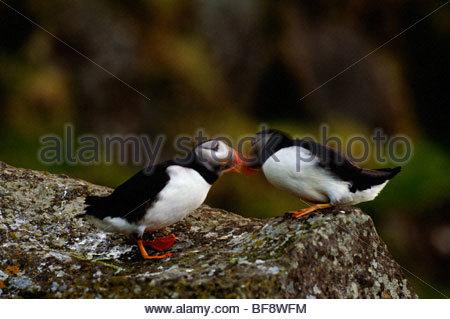 Atlantic i puffini corteggiamento, Fratercula arctica, Hebirdes esterna, Scozia Immagini Stock