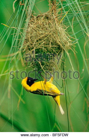 Minore Tessitore mascherato edificio maschio nido, Ploceus intermedius, Okavango Delta, Botswana Immagini Stock