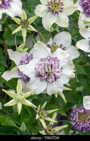 Clematis Florida Sieboldii. Clematis florida var. bicolor fiori Immagini Stock
