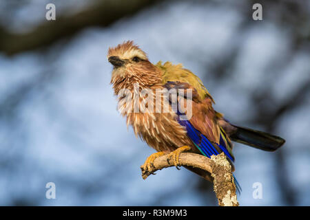 Tanzania, uccello Immagini Stock