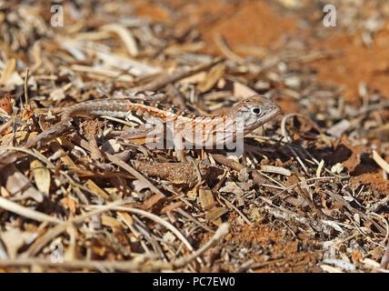 Madagascar tre-eyed Lizard (Chalarodon madagascariensis) adulto su suolo sabbioso, endemica malgascia Parc Mosa, Ifaty, Madagascar Novemb Immagini Stock