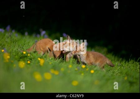 La volpe rossa Vulpes vulpes tre cuccioli di fox tra bluebells sui margini di un fiore riempito prato Derbyshire, Immagini Stock