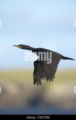 Il marangone dal ciuffo Phalacrocorax aristotelis un adulto in volo lungo una appartata costa Isole Shetland, Scotland, Immagini Stock