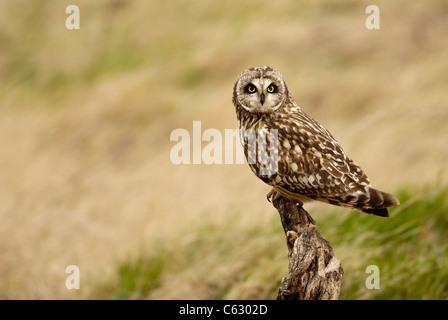 Corto-EARED OWL asio flammeus un adulto arroccato su un vecchio ceppo al tramonto il Galles del Nord, Regno Unito Immagini Stock