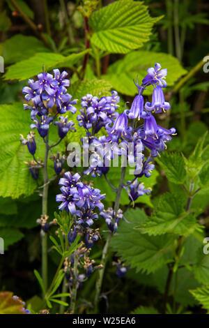 Regno Unito, Cumbria, York, Howgill Lane, selvatici nativi fiori bluebell, Hyacinthoides non scripta, crescendo su strada orlo Immagini Stock