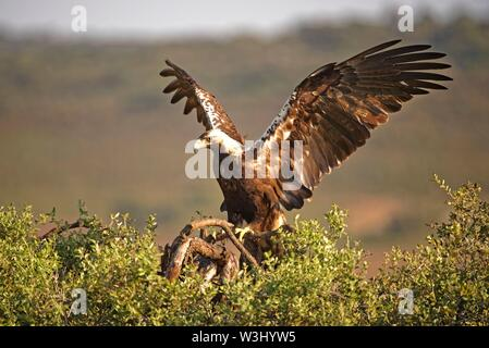 Spanish imperial eagle (Aquila adalberti) sbarca sul ramo, Estremadura, Spagna Immagini Stock