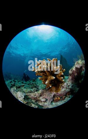 Scena sulla barriera corallina con Staghorn coral. Immagini Stock