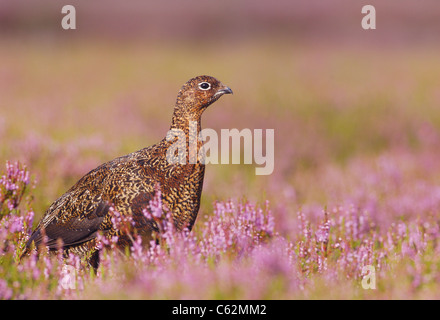 Red Grouse Lagopus lagopus scoticus profilo di un adulto in un mare di fioritura heather Yorkshire Dales National Immagini Stock