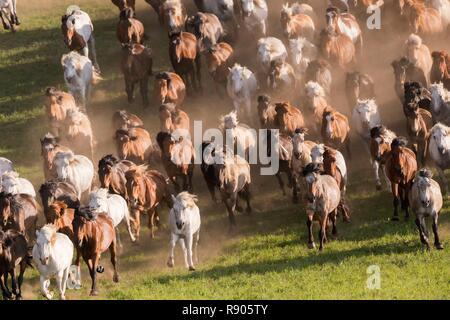 Cina, Mongolia interna, nella provincia di Hebei, Zhangjiakou, Bashang pascolo cavalli in esecuzione in un gruppo nel prato Immagini Stock