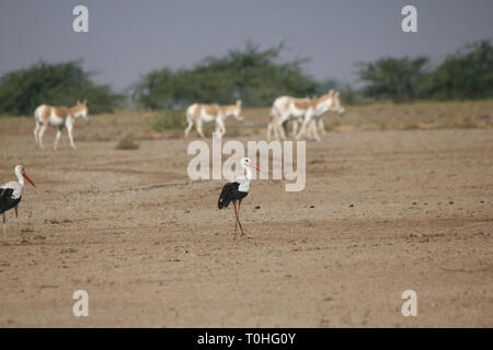 Cicogna bianca bird, grande Rann di Kutch, Gujarat, India, Asia Immagini Stock