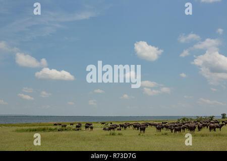 Buffalo (Syncerus caffer), il lago Albert, Murchison Falls National Park, Uganda Immagini Stock