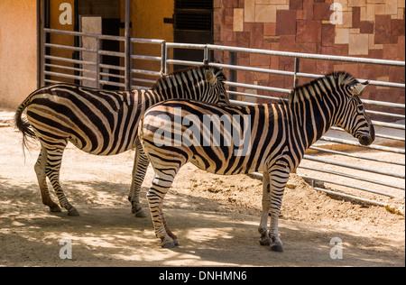 Chapman's zebre (Equus quagga chapmani) in uno zoo, allo Zoo di Barcellona, Barcellona, in Catalogna, Spagna Immagini Stock