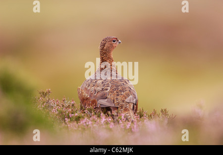 Red Grouse Lagopus lagopus scoticus vista posteriore di un adulto op open moorland Yorkshire Dales National Park, Immagini Stock
