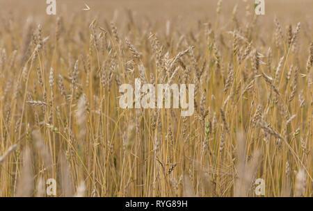 Grano giallo pronto per il raccolto che cresce in un campo di fattoria Immagini Stock